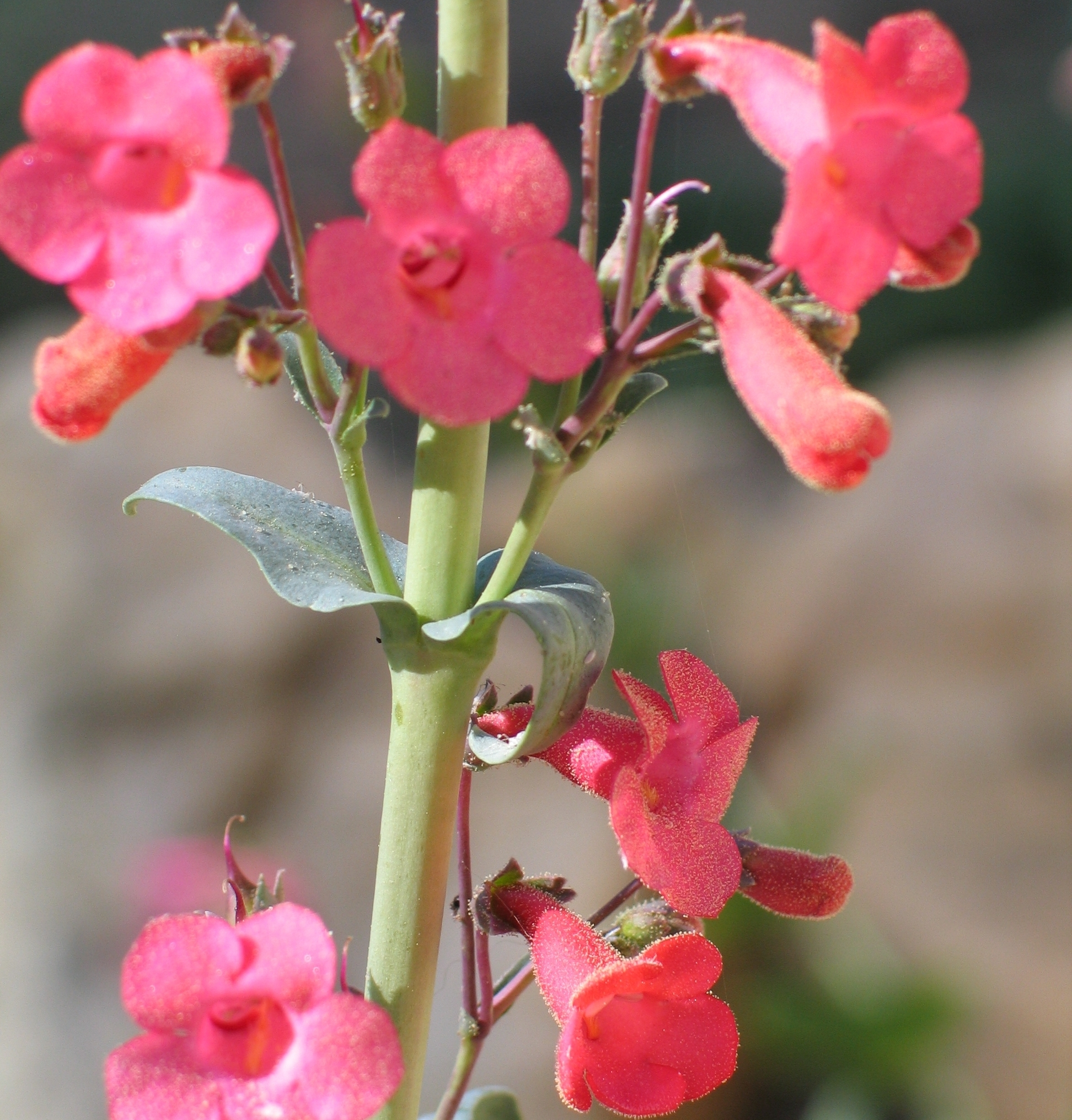 Superb Penstemon - Penstemon superbus